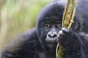 ASy-Benny-Rebel-Fotoreise-Berg-GorillaRuanda