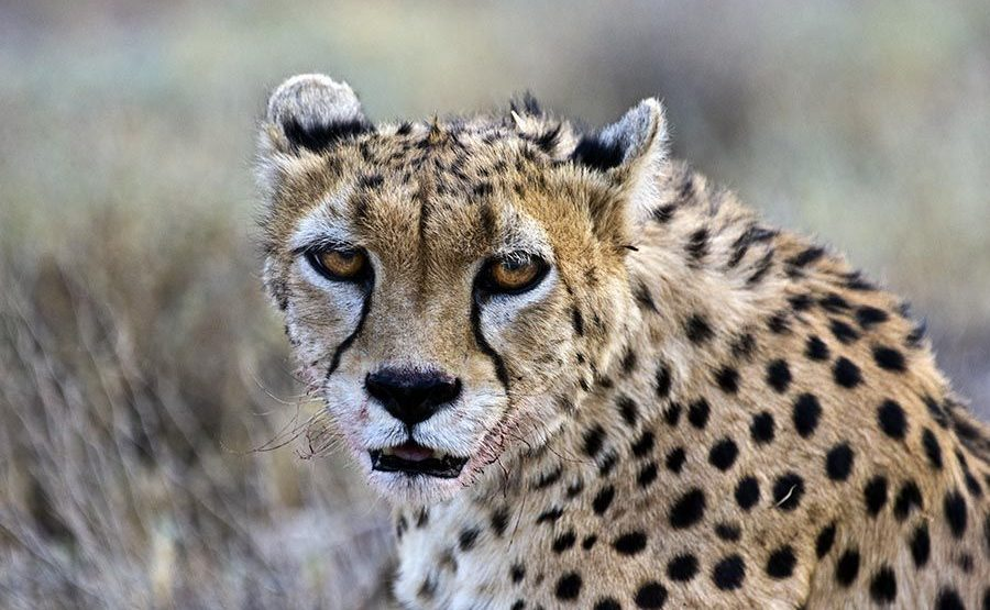 ATs-Benny-Rebel-Fotoreise-Persischer-Gepard-Iran