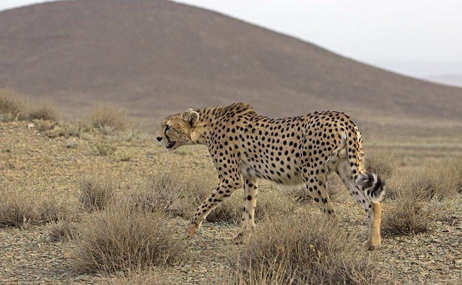 ATt-Benny-Rebel-Fotoreise-Persischer-Gepard-Iran