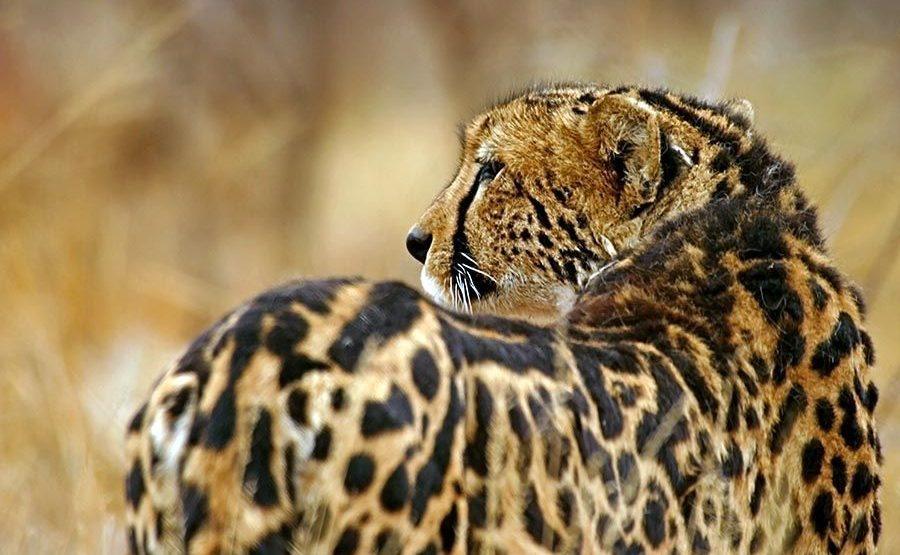 ATu-Benny-Rebel-Fotoreise-Suedafrika-Koenigsgepard
