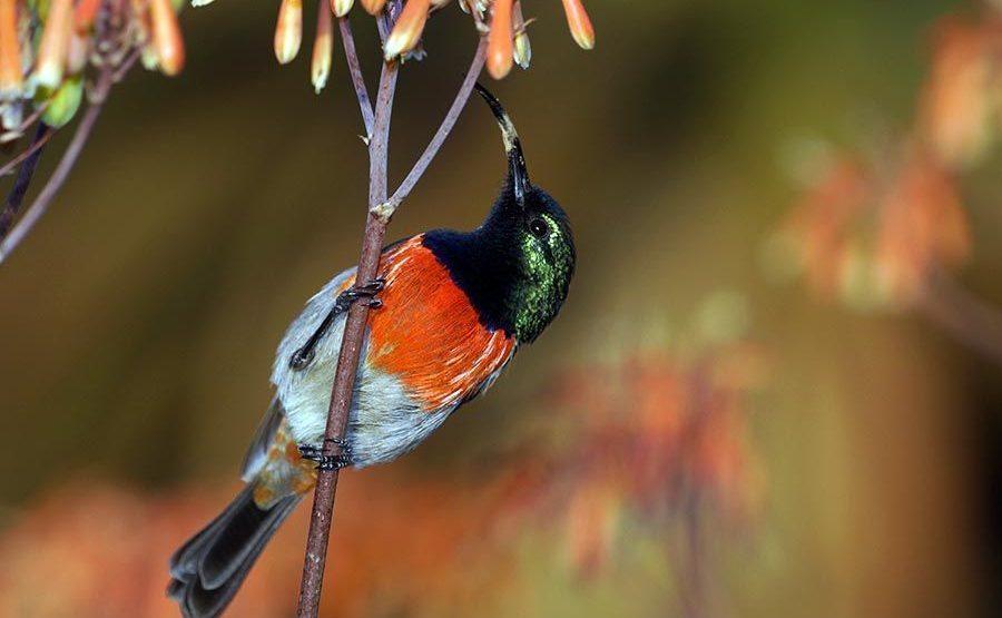 AUk-Benny-Rebel-Fotoreise-BindennektarvogelSuedafrika