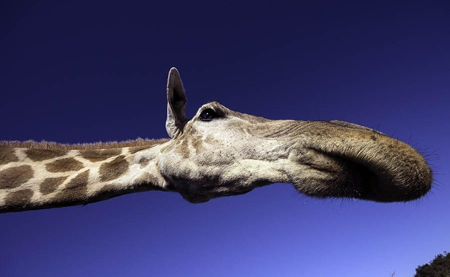 AVd-Benny-Rebel-Fotoreise-Suedafrika-Giraffe