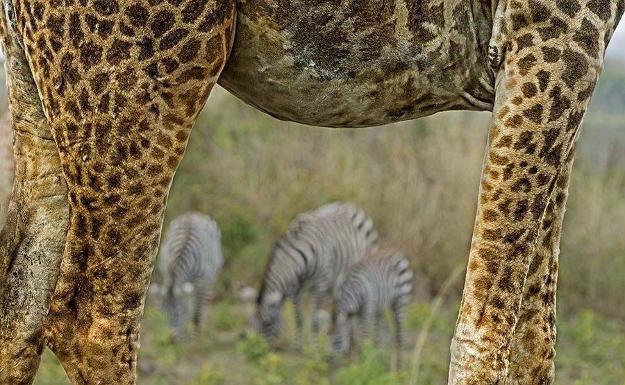 AVf-Benny-Rebel-Fotoreise-Tansania-Giraffe