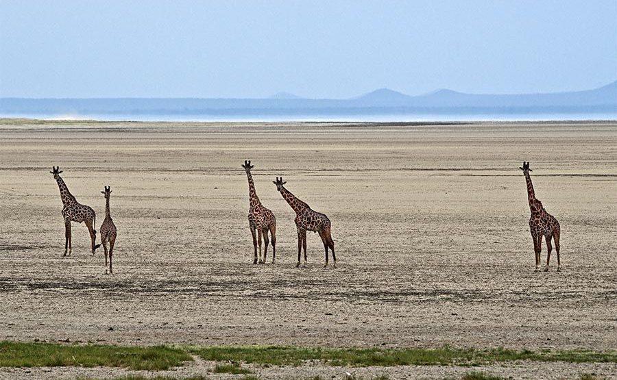 AVh-Benny-Rebel-Fotoreise-Tansania-Giraffe