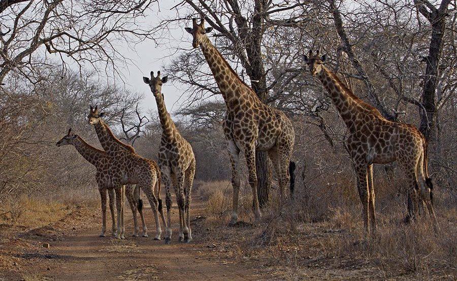 AVk-Benny-Rebel-Fotoreise-Swaziland-Giraffe