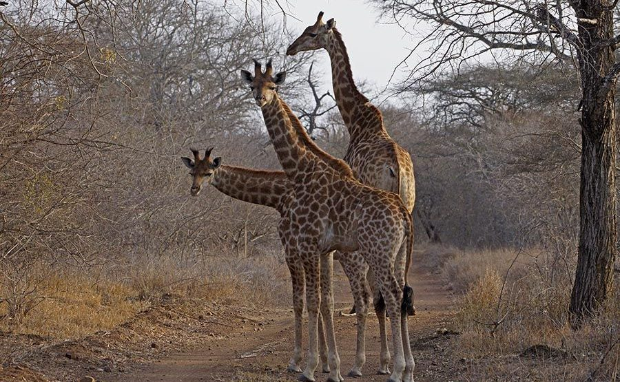 AVl-Benny-Rebel-Fotoreise-Swaziland-Giraffe