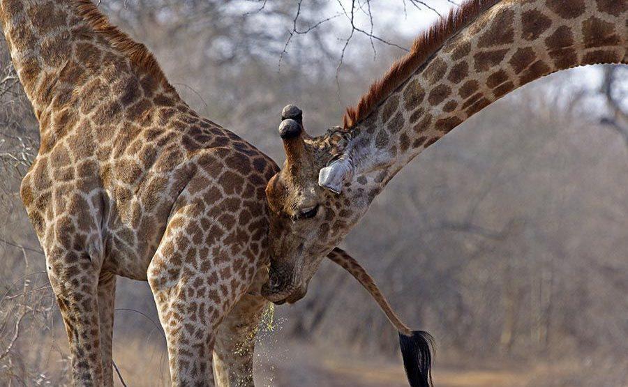 AVm-Benny-Rebel-Fotoreise-Swaziland-Giraffe