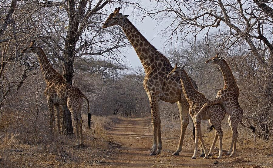 AVn-Benny-Rebel-Fotosafari-Swaziland-Giraffe