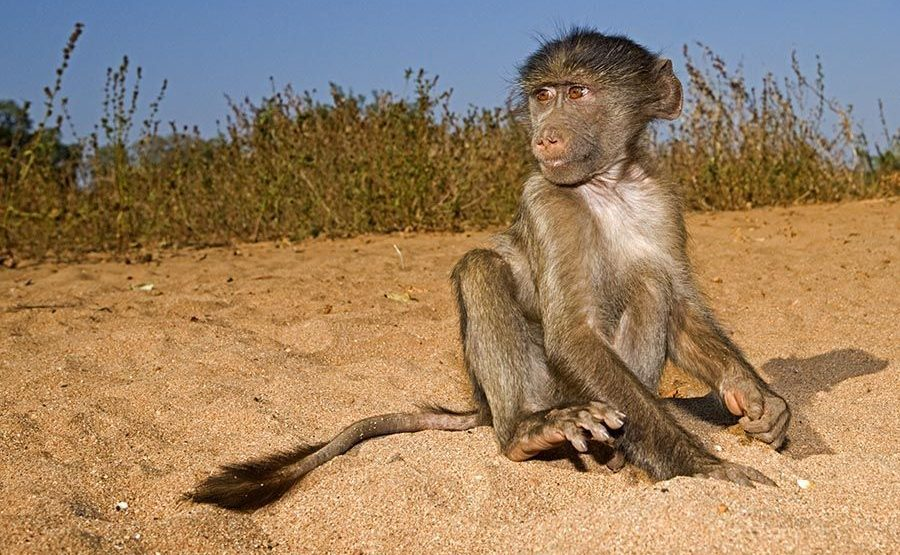 AWb-Benny-Rebel-Fotoreise-Suedafrika-Pavian