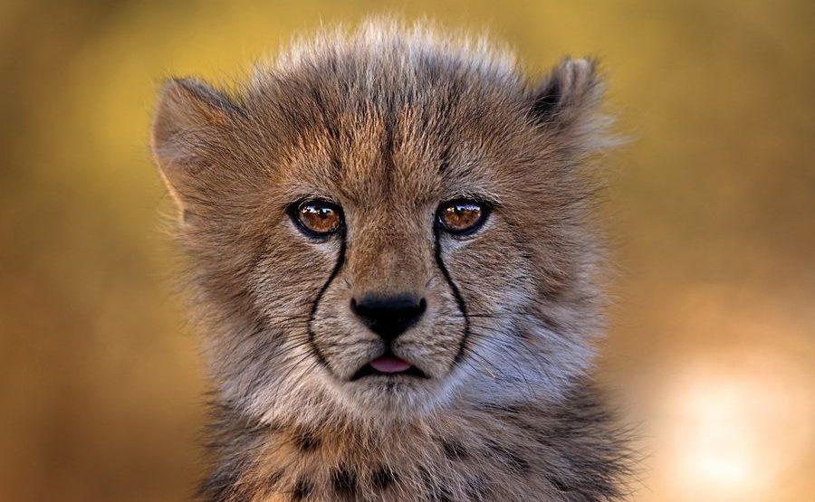 AWm-Benny-Rebel-Fotosafari-Suedafrika-Gepard