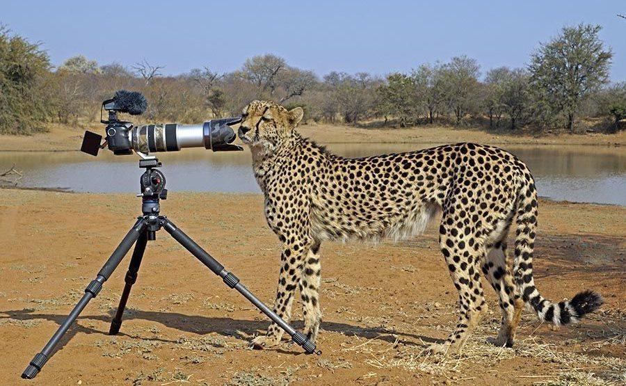 AWu-Benny-Rebel-Fotoreise-Suedafrika-Gepard