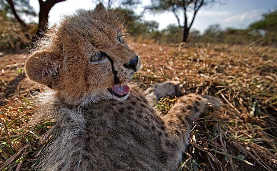 AWv-Benny-Rebel-Fotoreise-Suedafrika-Gepard