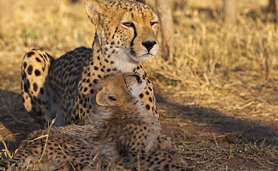AWx-Benny-Rebel-Fotoreise-Suedafrika-Gepard