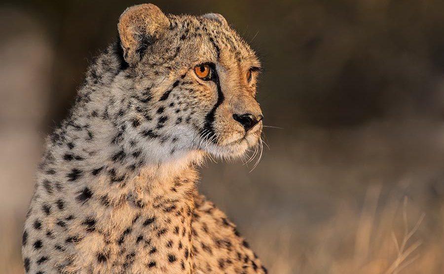 AWz-Benny-Rebel-Fotoreise-Suedafrika-Gepard