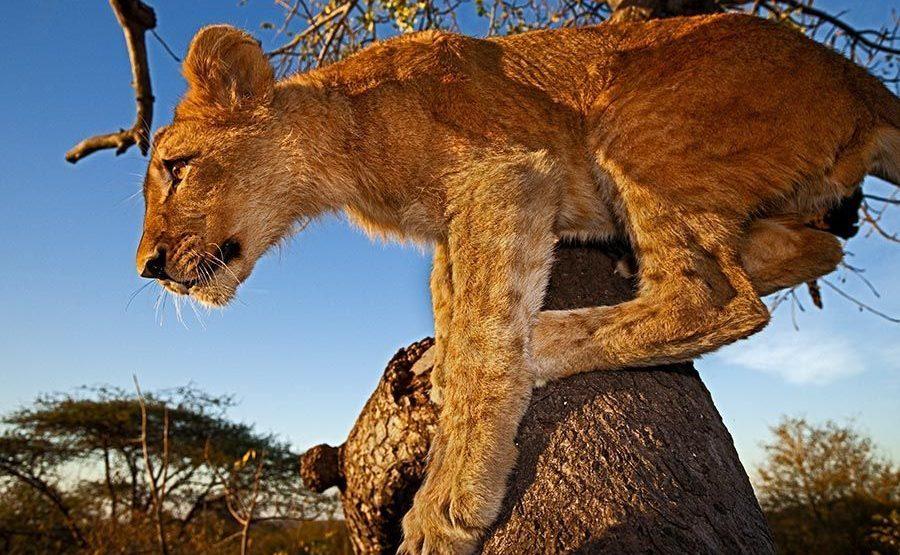 AXe-Benny-Rebel-Fotosafari-Suedafrika-Loewe