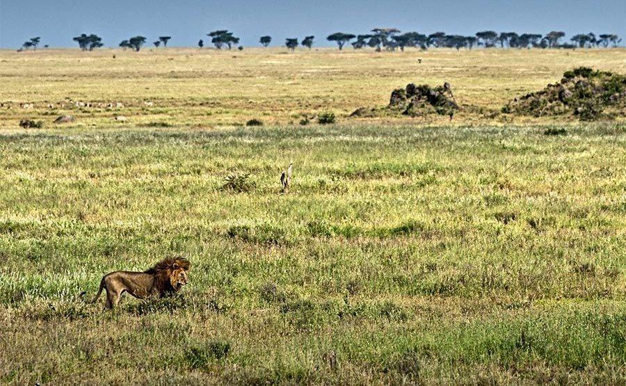 AXf-Benny-Rebel-Fotoreise-Tansania-Loewe