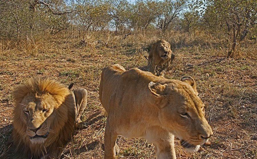 AXk-Benny-Rebel-Fotoreise-Suedafrika-Loewe