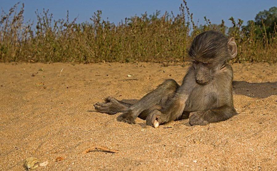 Awaa-Benny-Rebel-Fotoreise-Suedafrika-Pavian