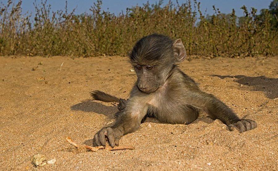 Awab-Benny-Rebel-Fotoreise-Suedafrika-Pavian