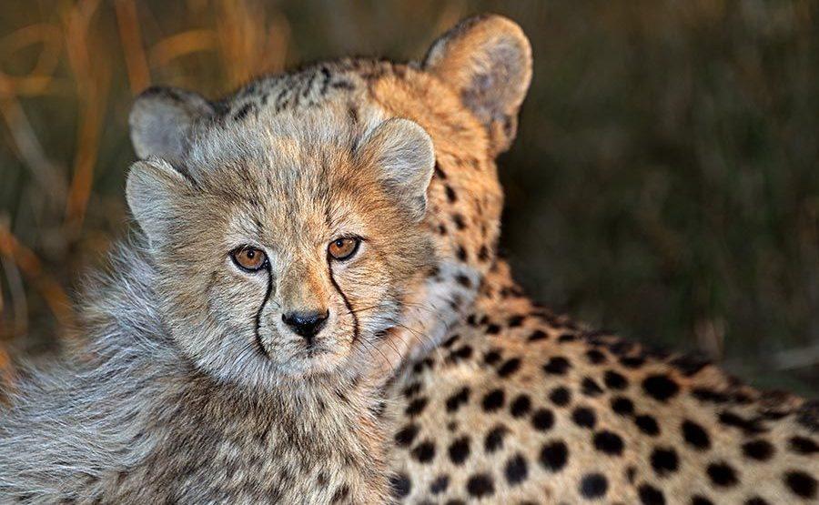 Awya-Benny-Rebel-Fotoreise-Suedafrika-Gepard