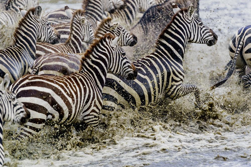 Fotoreise Kenia, Benny Rebel, Zebraherde