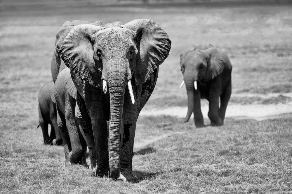 Fotoreise Kenia, Benny Rebel, Elefant, schwarz weiß