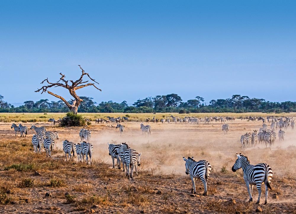 Fotoreise Kenia, Benny Rebel, Zebra