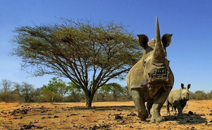 Schutz der Nashörner in Afrika - Benny Rebel