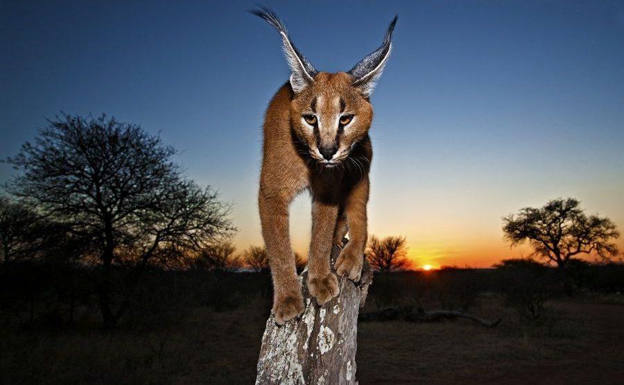 AA-Benny-Rebel-Fotoreise-Suedafrika-KarakalLuchs