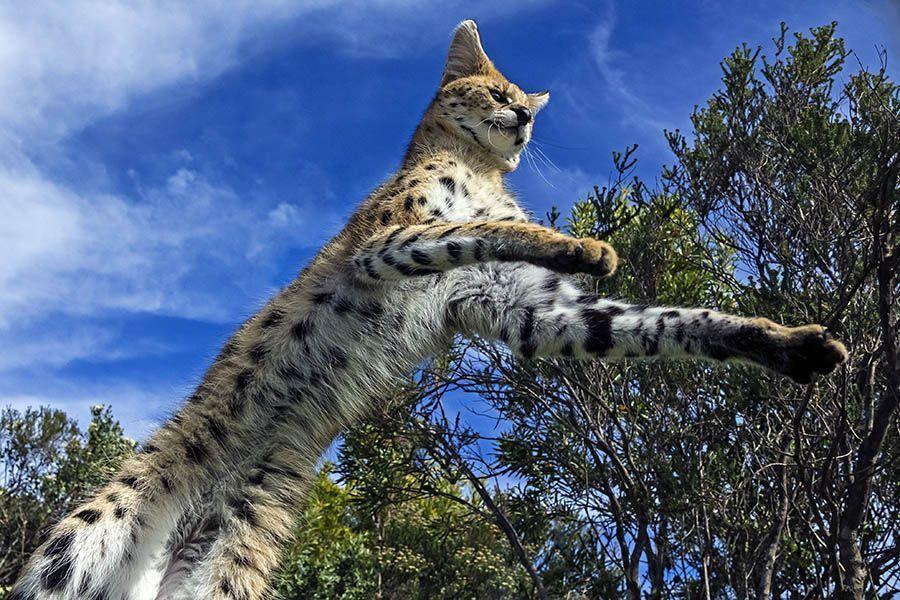 AAAB-Benny-Rebel-Fotoreise-Afrika-Serval