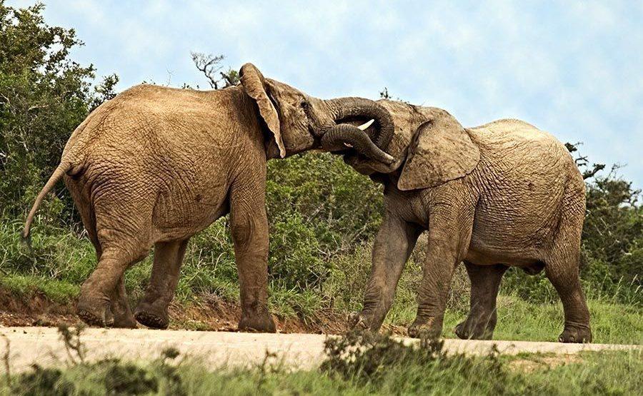 AASC-Benny-Rebel-Fotoreise-Suedafrika-Elefant