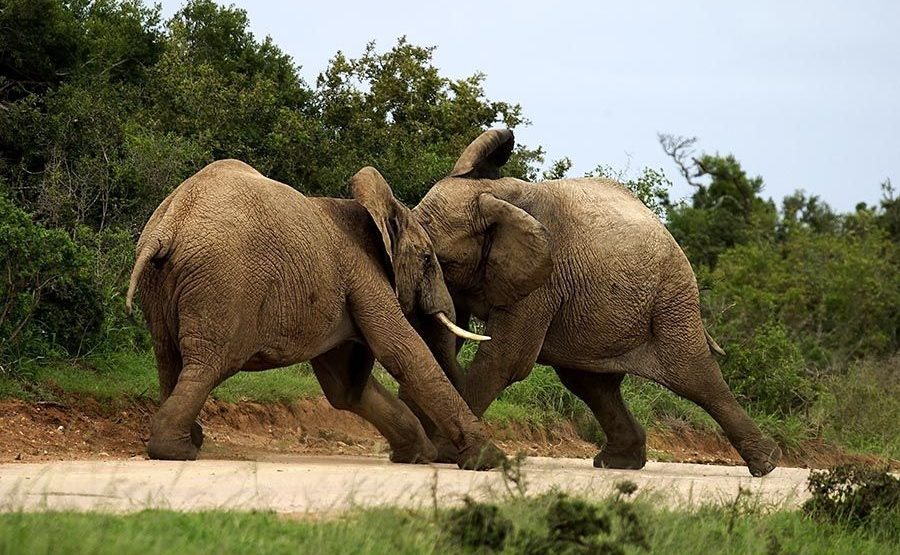 AASCA-Benny-Rebel-Fotoreise-Suedafrika-Elefant