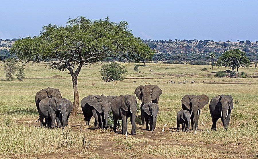 AAT-Benny-Rebel-Fotoreise-Tansania-Elefant