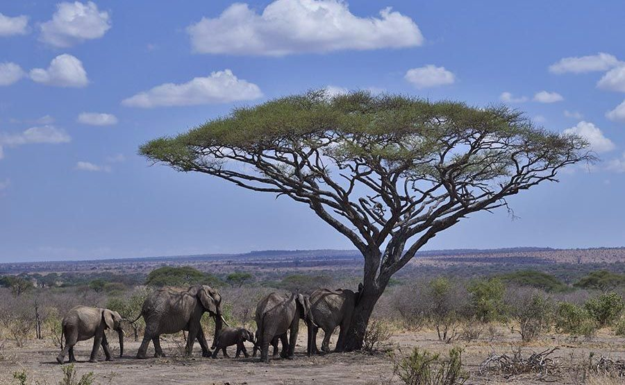 AAU-Benny-Rebel-Fotoreise-Tansania-Elefant