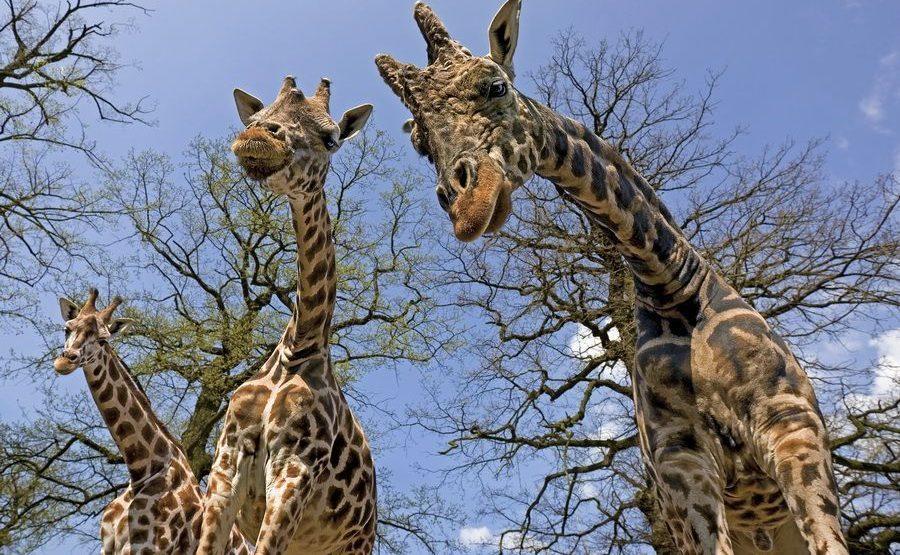 AB-Benny-Rebel-Fotoreise-Suedafrika-Giraffe