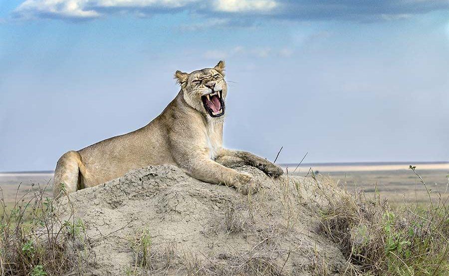 AB-Benny-Rebel-Fotoreise-Tansania-Loewe