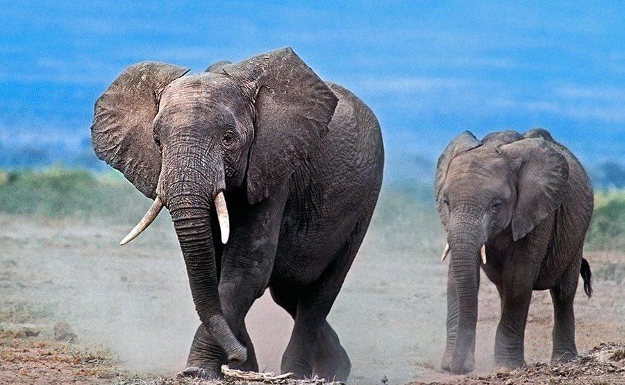 ABDA-Benny-Rebel-Fotoreise-Kenia-Elefant