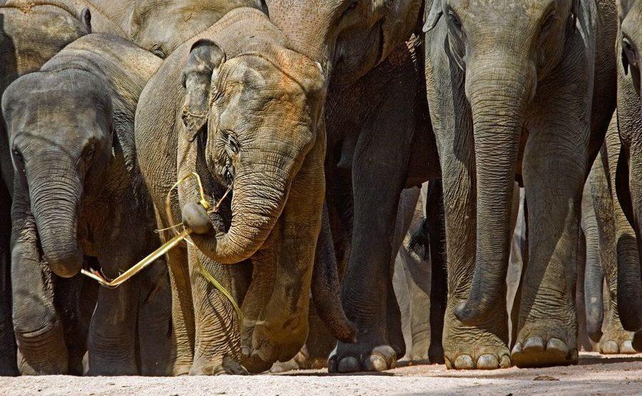ABZG-Benny-Rebel-Fotoreise-ElefantSri-Lanka