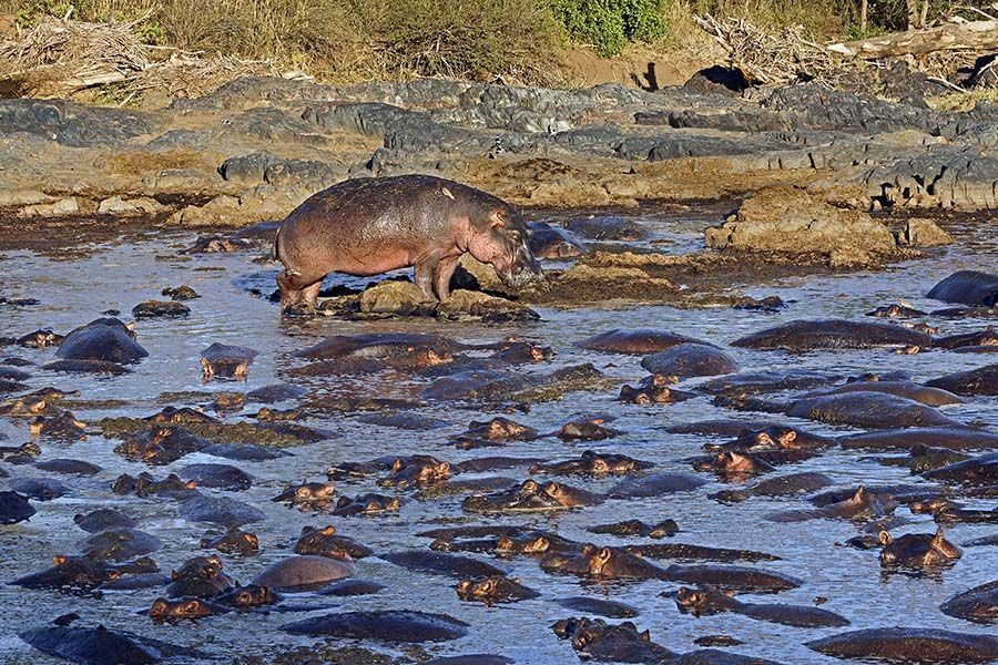 AC-Benny-Rebel-Fotoreise-Suedafrika--Flusspferd