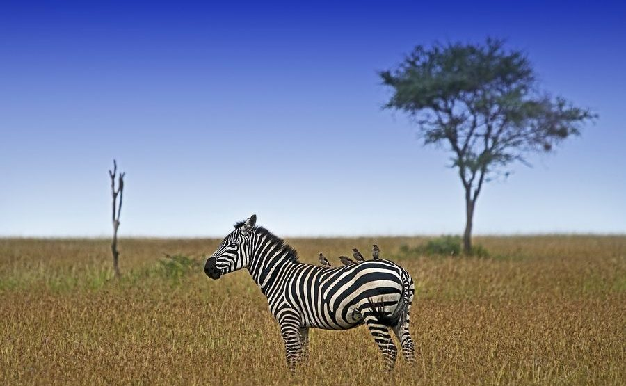 AC-Benny-Rebel-Fotoreise-Tansania-Zebra