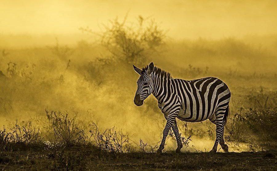 AD-Benny-Rebel-Fotoreise-Kenia-Zebra