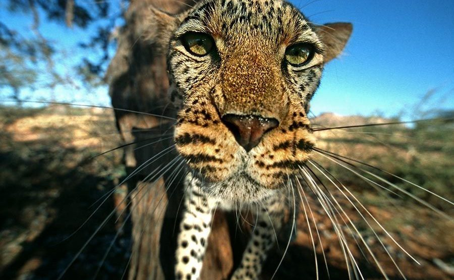 AD-Benny-Rebel-Fotoreise-Namibia-Leopard