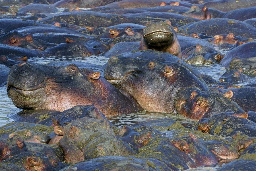 AD-Benny-Rebel-Fotoreise-Suedafrika--Flusspferd