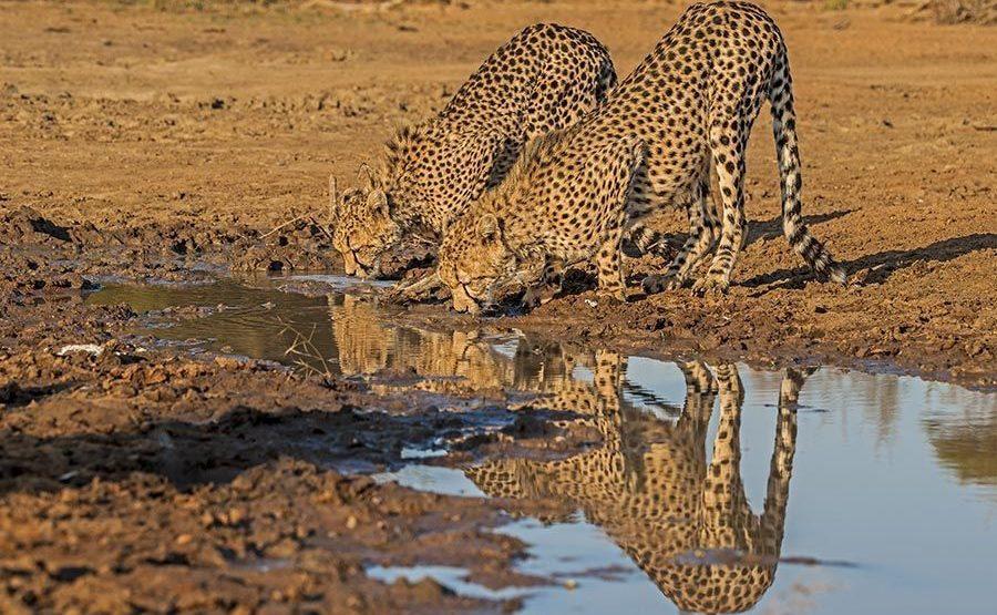 ADA-Benny-Rebel-Fotoreise-Suedafrika-Gepard