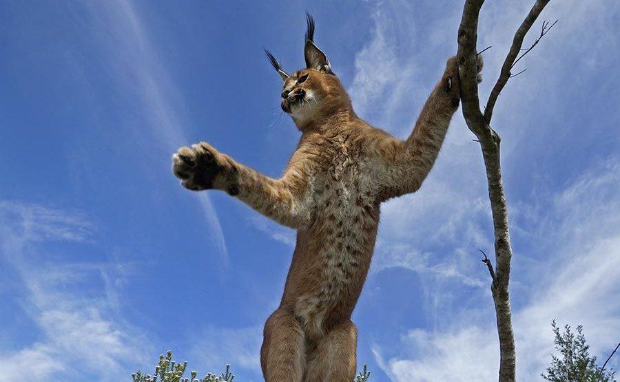 ADRAB-Benny-Rebel-Fotoreise-Suedafrika-KarakalLuchs