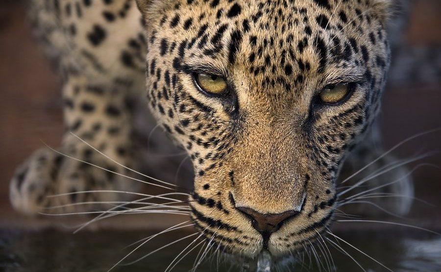 AE-Benny-Rebel-Fotoreise-Suedafrika-Leopard