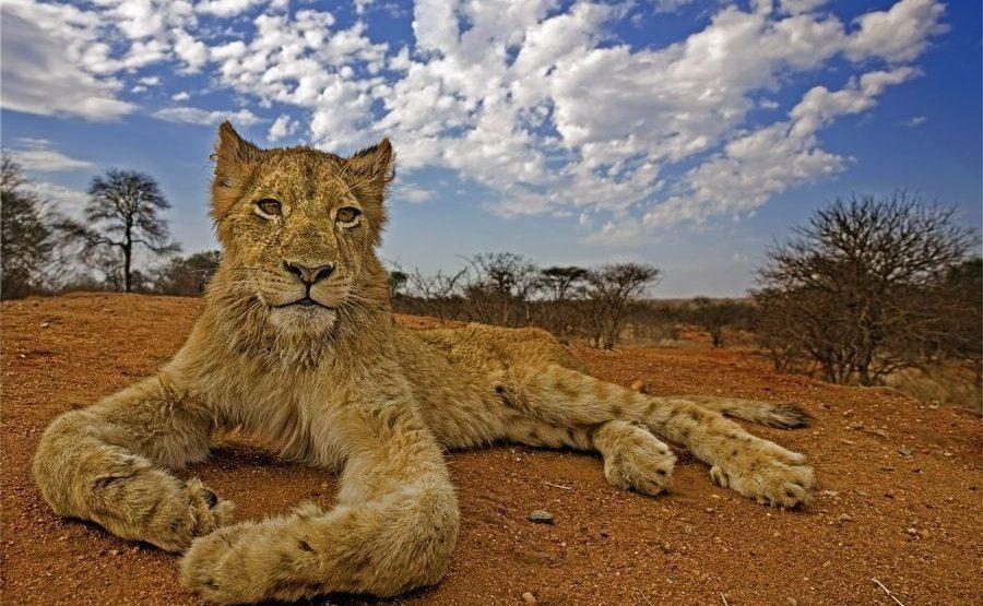 AE-Benny-Rebel-Fotoreise-Suedafrika-Loewe