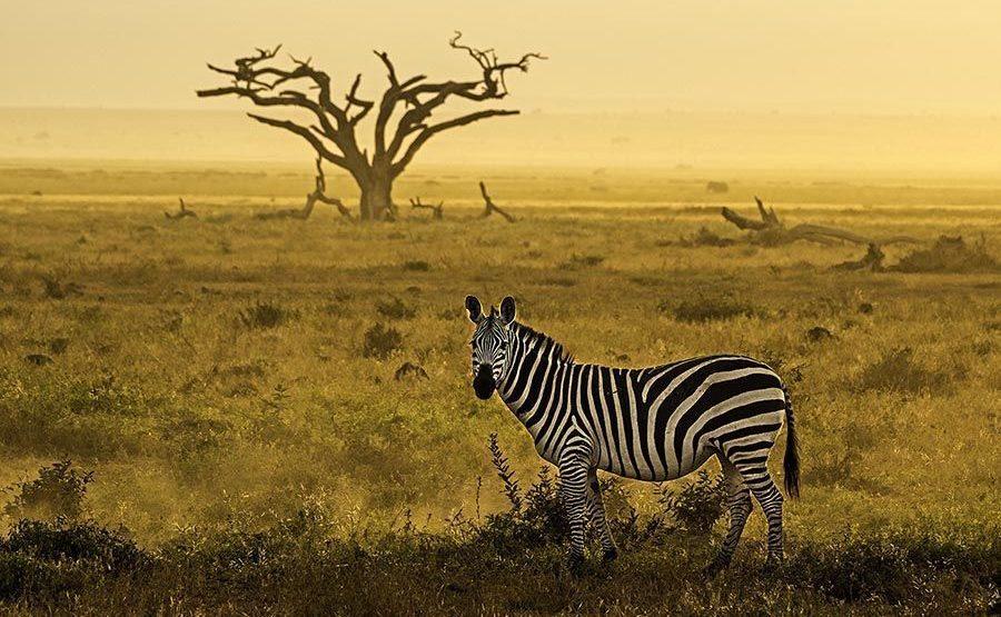 AF-Benny-Rebel-Fotoreise-Kenia-Zebra