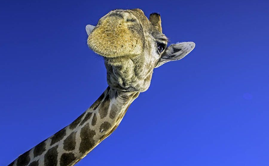 AF-Benny-Rebel-Fotoreise-Suedafrika-Giraffe