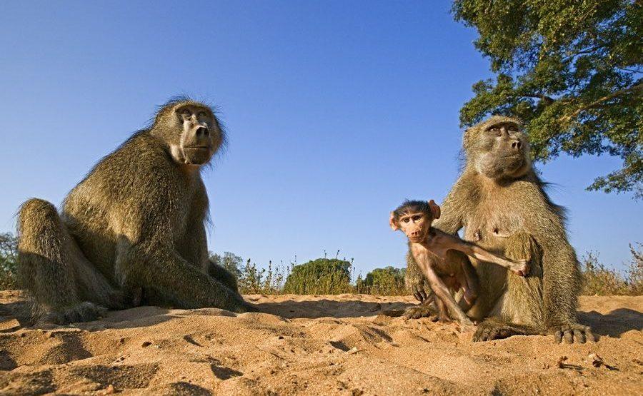 AF-Benny-Rebel-Fotoreise-Suedafrika-Pavian
